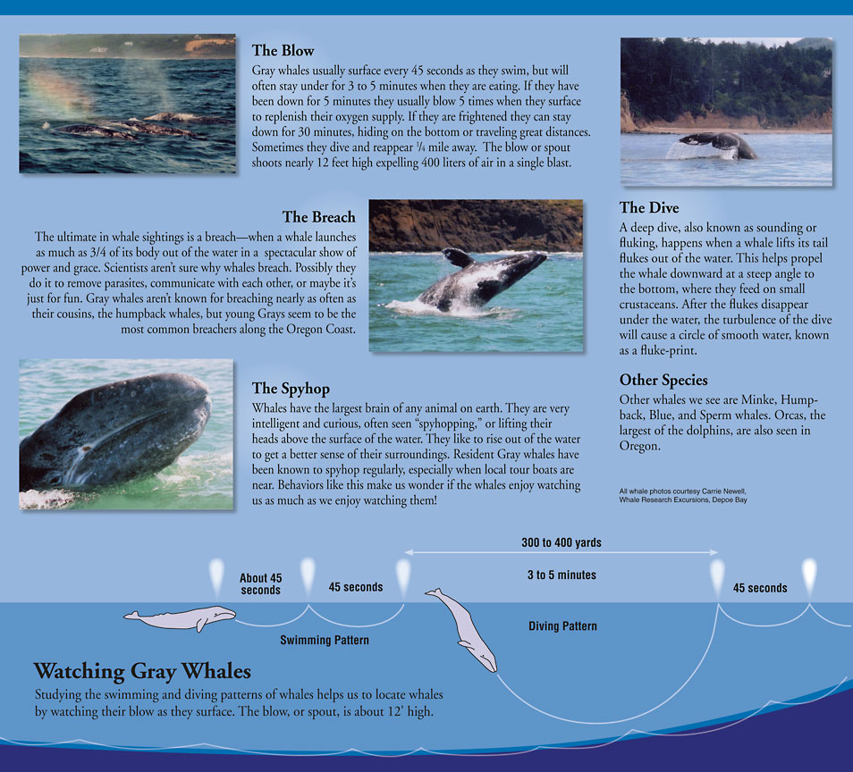 a description and basic information about whales Facts about whales, blue whales, beluga whales, humpback whaleswhale information, anatomy, habitat, reproduction and whale conservation.